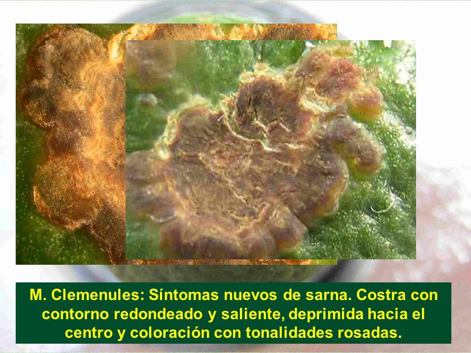 M. Clemenules: Síntomas nuevos de sarna. Costra con contorno redondeado y saliente, deprimida hacia el centro y coloración con tonalidades rosadas.