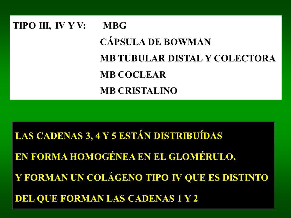TIPO III, IV Y V: MBG CÁPSULA DE BOWMAN MB TUBULAR DISTAL Y COLECTORA MB COCLEAR MB CRISTALINO LAS CADENAS 3, 4 Y 5 ESTÁN DISTRIBUÍDAS EN FORMA HOMOGÉNEA EN EL GLOMÉRULO, Y FORMAN UN COLÁGENO TIPO IV QUE ES DISTINTO DEL QUE FORMAN LAS CADENAS 1 Y 2