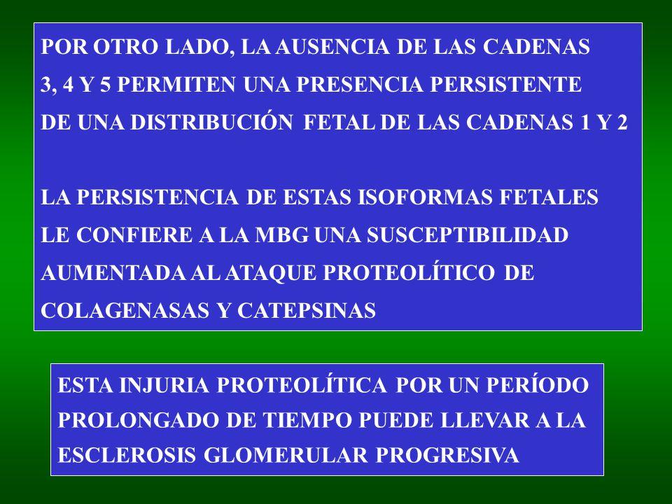 POR OTRO LADO, LA AUSENCIA DE LAS CADENAS 3, 4 Y 5 PERMITEN UNA PRESENCIA PERSISTENTE DE UNA DISTRIBUCIÓN FETAL DE LAS CADENAS 1 Y 2 LA PERSISTENCIA DE ESTAS ISOFORMAS FETALES LE CONFIERE A LA MBG UNA SUSCEPTIBILIDAD AUMENTADA AL ATAQUE PROTEOLÍTICO DE COLAGENASAS Y CATEPSINAS ESTA INJURIA PROTEOLÍTICA POR UN PERÍODO PROLONGADO DE TIEMPO PUEDE LLEVAR A LA ESCLEROSIS GLOMERULAR PROGRESIVA