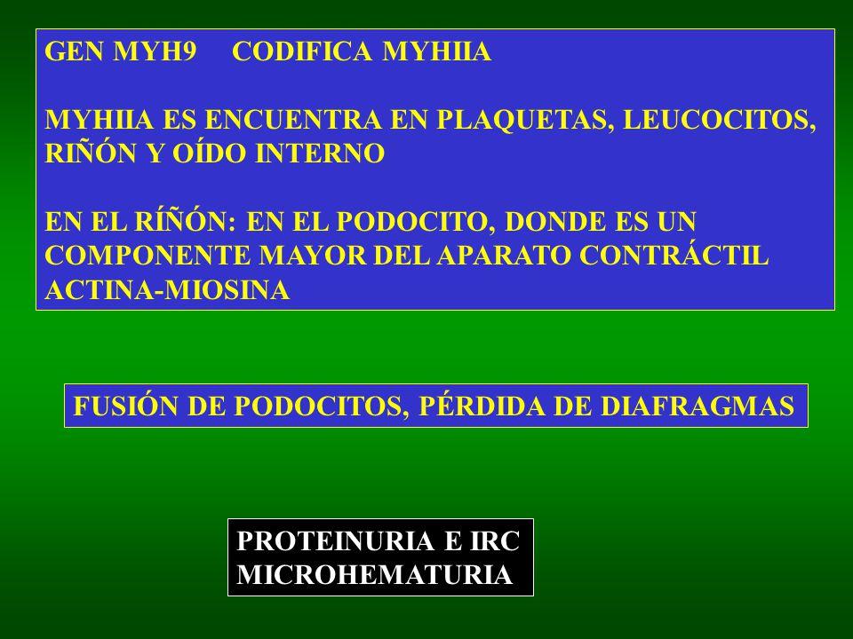 GEN MYH9 CODIFICA MYHIIA MYHIIA ES ENCUENTRA EN PLAQUETAS, LEUCOCITOS, RIÑÓN Y OÍDO INTERNO EN EL RÍÑÓN: EN EL PODOCITO, DONDE ES UN COMPONENTE MAYOR DEL APARATO CONTRÁCTIL ACTINA-MIOSINA PROTEINURIA E IRC MICROHEMATURIA FUSIÓN DE PODOCITOS, PÉRDIDA DE DIAFRAGMAS