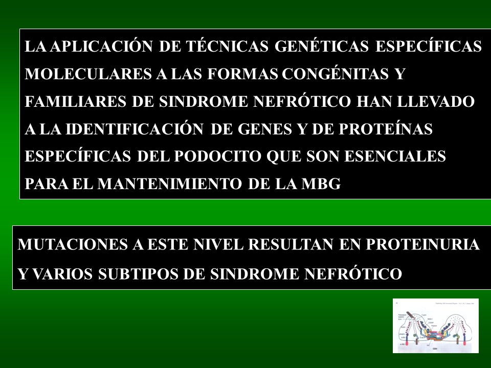 LA APLICACIÓN DE TÉCNICAS GENÉTICAS ESPECÍFICAS MOLECULARES A LAS FORMAS CONGÉNITAS Y FAMILIARES DE SINDROME NEFRÓTICO HAN LLEVADO A LA IDENTIFICACIÓN DE GENES Y DE PROTEÍNAS ESPECÍFICAS DEL PODOCITO QUE SON ESENCIALES PARA EL MANTENIMIENTO DE LA MBG MUTACIONES A ESTE NIVEL RESULTAN EN PROTEINURIA Y VARIOS SUBTIPOS DE SINDROME NEFRÓTICO