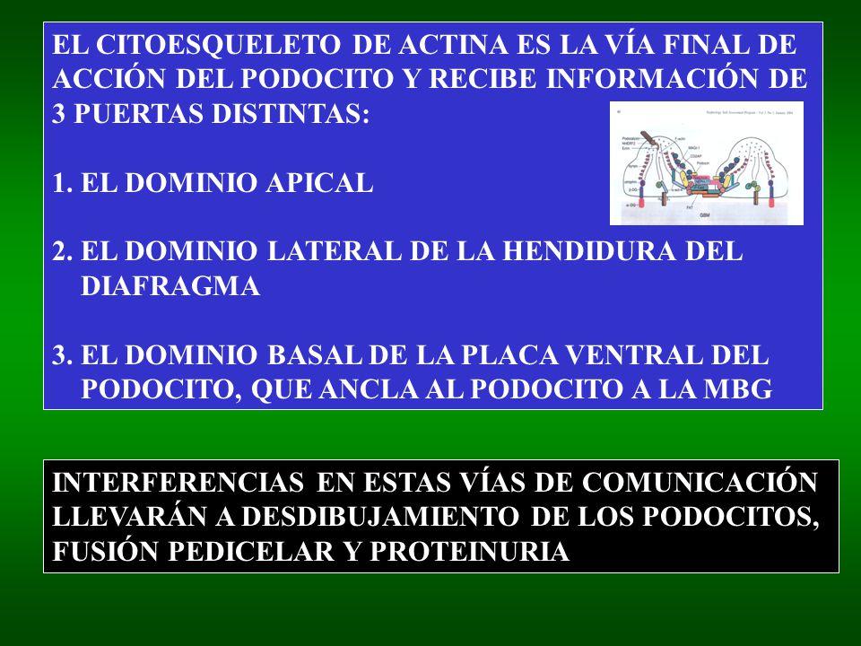 EL CITOESQUELETO DE ACTINA ES LA VÍA FINAL DE ACCIÓN DEL PODOCITO Y RECIBE INFORMACIÓN DE 3 PUERTAS DISTINTAS: 1. EL DOMINIO APICAL 2. EL DOMINIO LATE