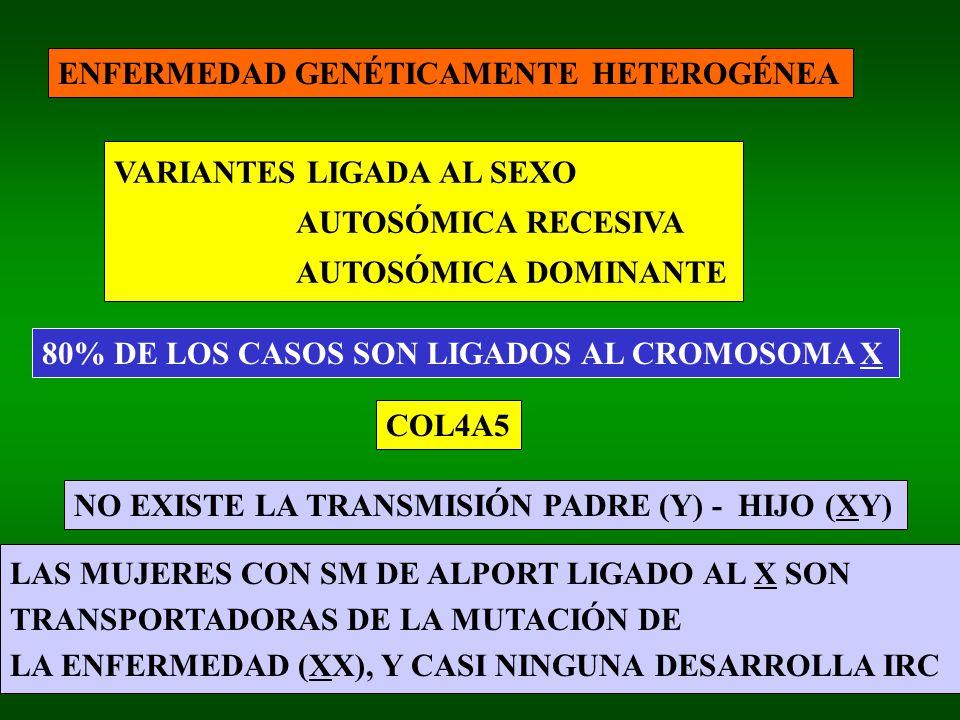 ENFERMEDAD GENÉTICAMENTE HETEROGÉNEA VARIANTES LIGADA AL SEXO AUTOSÓMICA RECESIVA AUTOSÓMICA DOMINANTE 80% DE LOS CASOS SON LIGADOS AL CROMOSOMA X NO EXISTE LA TRANSMISIÓN PADRE (Y) - HIJO (XY) LAS MUJERES CON SM DE ALPORT LIGADO AL X SON TRANSPORTADORAS DE LA MUTACIÓN DE LA ENFERMEDAD (XX), Y CASI NINGUNA DESARROLLA IRC COL4A5
