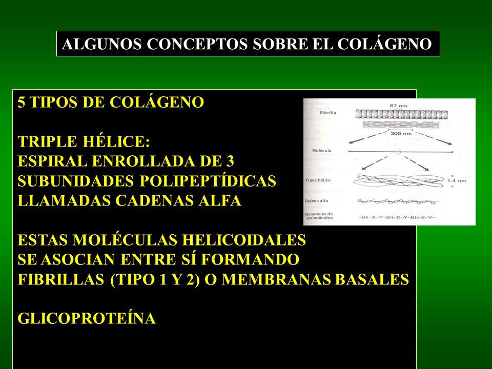 ALGUNOS CONCEPTOS SOBRE EL COLÁGENO 5 TIPOS DE COLÁGENO TRIPLE HÉLICE: ESPIRAL ENROLLADA DE 3 SUBUNIDADES POLIPEPTÍDICAS LLAMADAS CADENAS ALFA ESTAS MOLÉCULAS HELICOIDALES SE ASOCIAN ENTRE SÍ FORMANDO FIBRILLAS (TIPO 1 Y 2) O MEMBRANAS BASALES GLICOPROTEÍNA