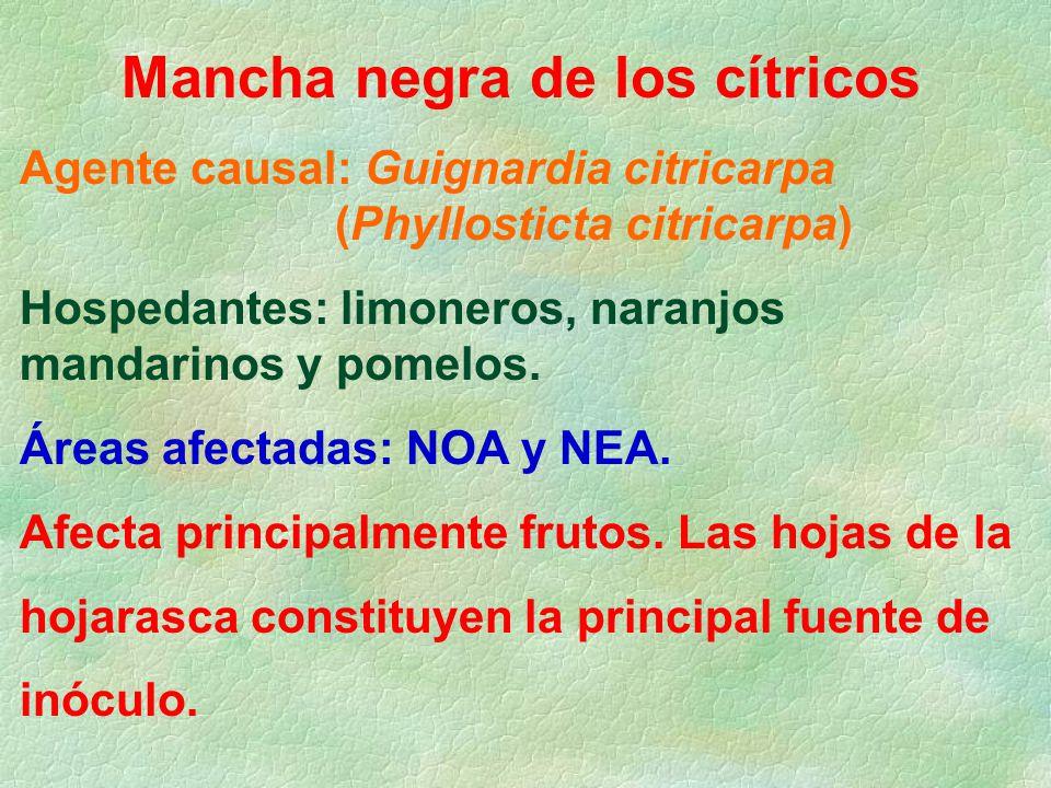 Mancha negra de los cítricos Agente causal: Guignardia citricarpa (Phyllosticta citricarpa) Hospedantes: limoneros, naranjos mandarinos y pomelos.