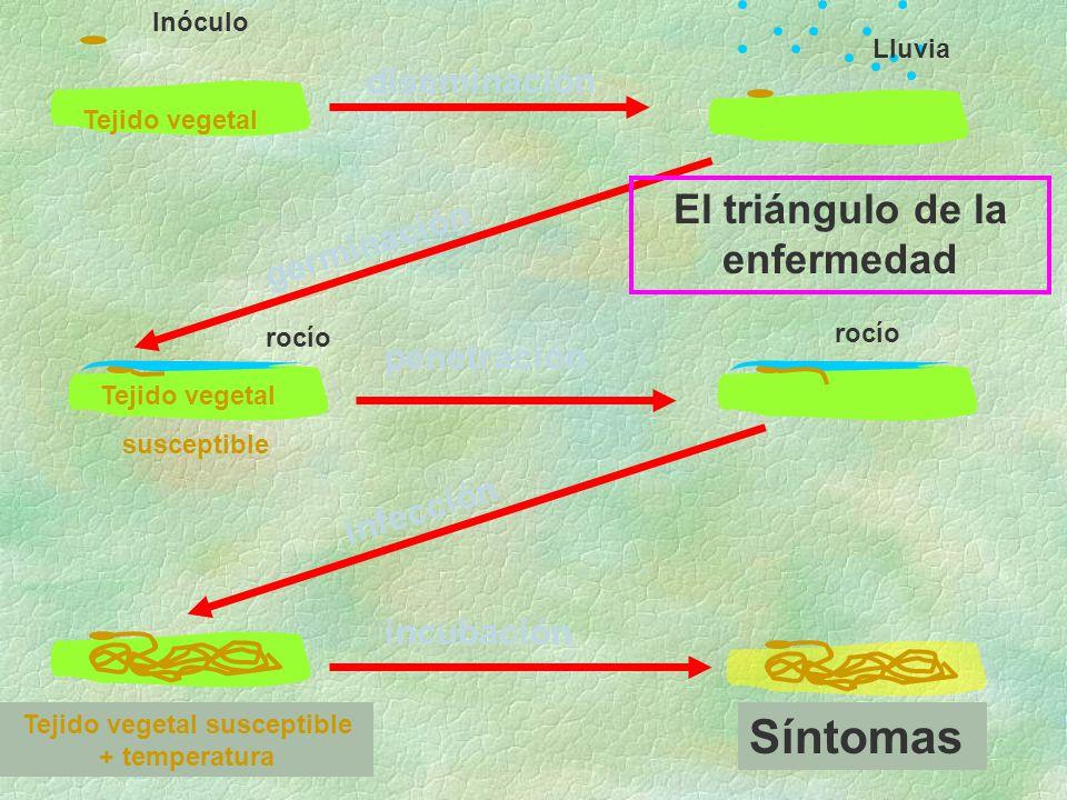 diseminación germinación penetración infección incubación Síntomas Tejido vegetal Inóculo Lluvia rocío Tejido vegetal susceptible + temperatura rocío Tejido vegetal susceptible El triángulo de la enfermedad