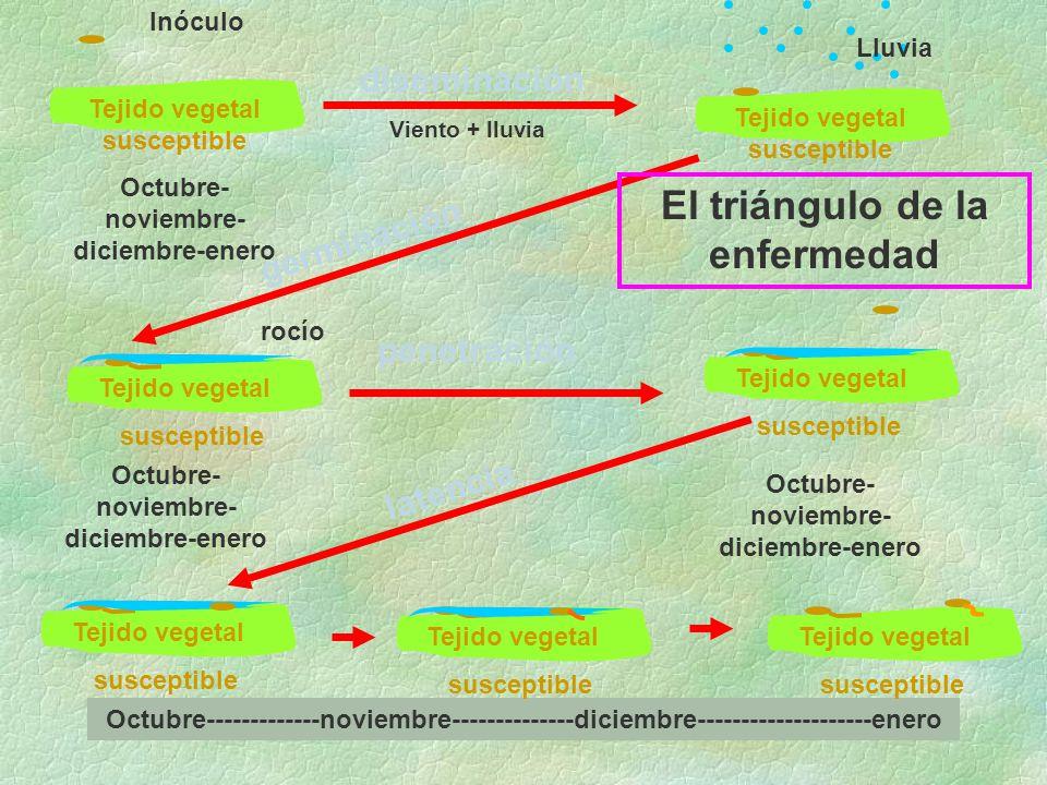 diseminación germinación penetración latencia Tejido vegetal susceptible Inóculo Lluvia rocío Tejido vegetal susceptible El triángulo de la enfermedad Tejido vegetal susceptible Octubre- noviembre- diciembre-enero Octubre-------------noviembre--------------diciembre--------------------enero Tejido vegetal susceptible Tejido vegetal susceptible Viento + lluvia Tejido vegetal susceptible Tejido vegetal susceptible