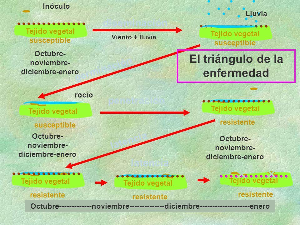 diseminación germinación penetración latencia Tejido vegetal susceptible Inóculo Lluvia rocío Tejido vegetal susceptible El triángulo de la enfermedad Tejido vegetal resistente Octubre- noviembre- diciembre-enero Octubre-------------noviembre--------------diciembre--------------------enero Tejido vegetal susceptible Tejido vegetal resistente Tejido vegetal resistente Tejido vegetal resistente Viento + lluvia