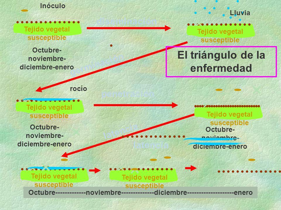 diseminación germinación penetración latencia Tejido vegetal susceptible Inóculo Lluvia rocío El triángulo de la enfermedad Octubre- noviembre- diciembre-enero Octubre-------------noviembre--------------diciembre--------------------enero Tejido vegetal susceptible