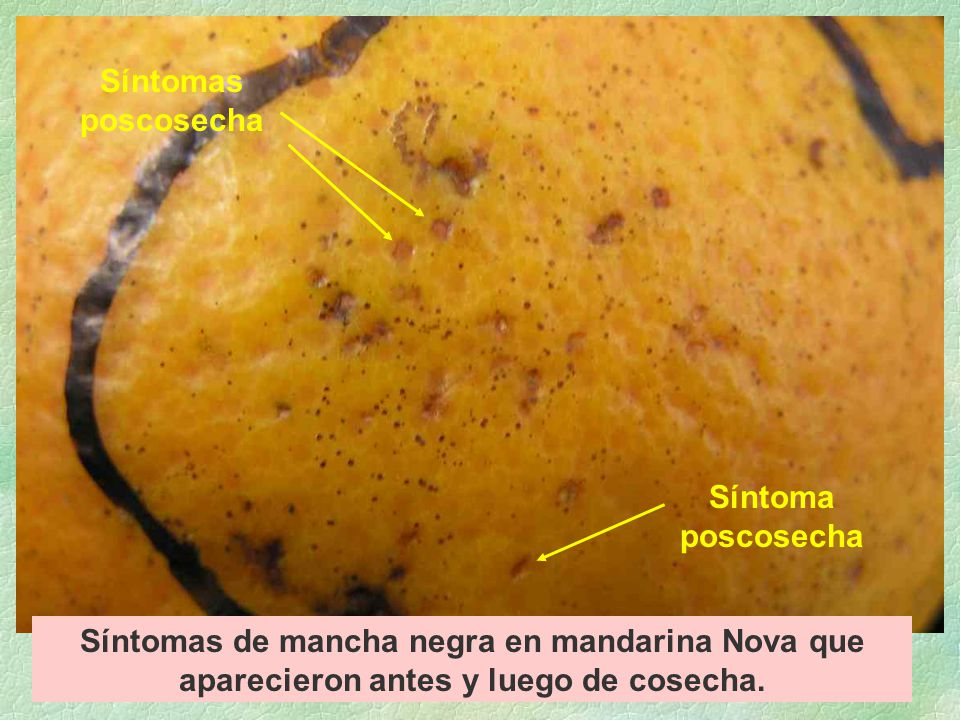 Síntomas de mancha negra en mandarina Nova que aparecieron antes y luego de cosecha.