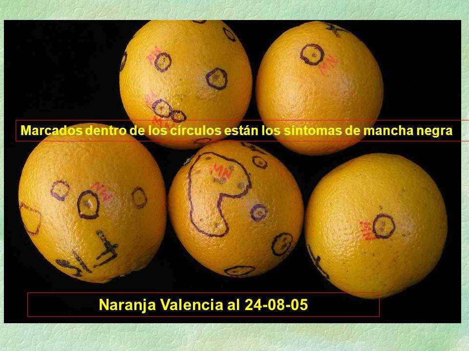 Naranja Valencia al 24-08-05 Marcados dentro de los círculos están los síntomas de mancha negra