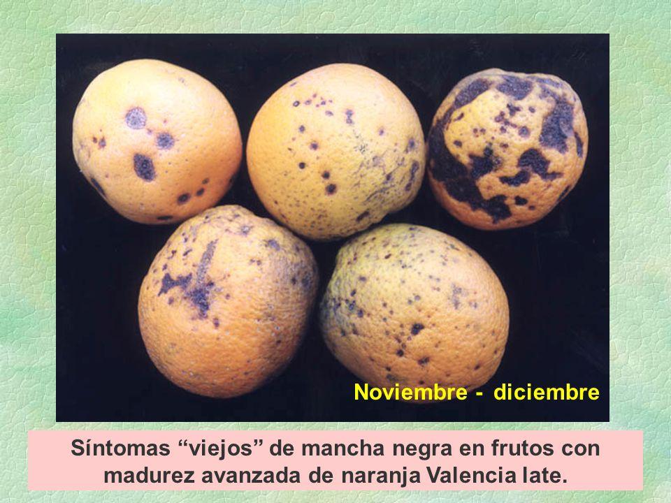 Síntomas viejos de mancha negra en frutos con madurez avanzada de naranja Valencia late.