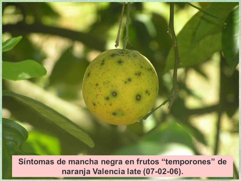 Síntomas de mancha negra en frutos temporones de naranja Valencia late (07-02-06).