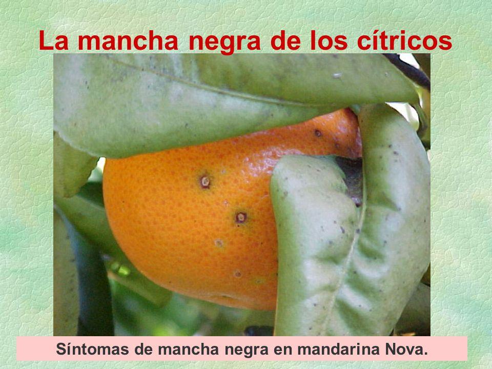 Síntomas de mancha negra en mandarina Nova que aparecieron antes y luego de cosecha. picnidios