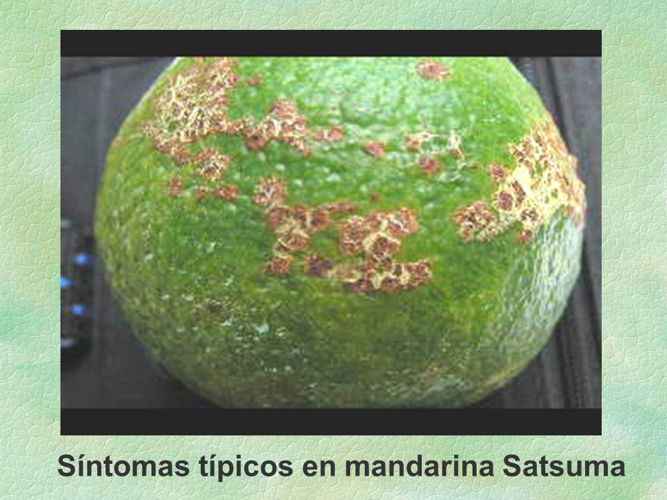 Síntomas típicos en mandarina Satsuma