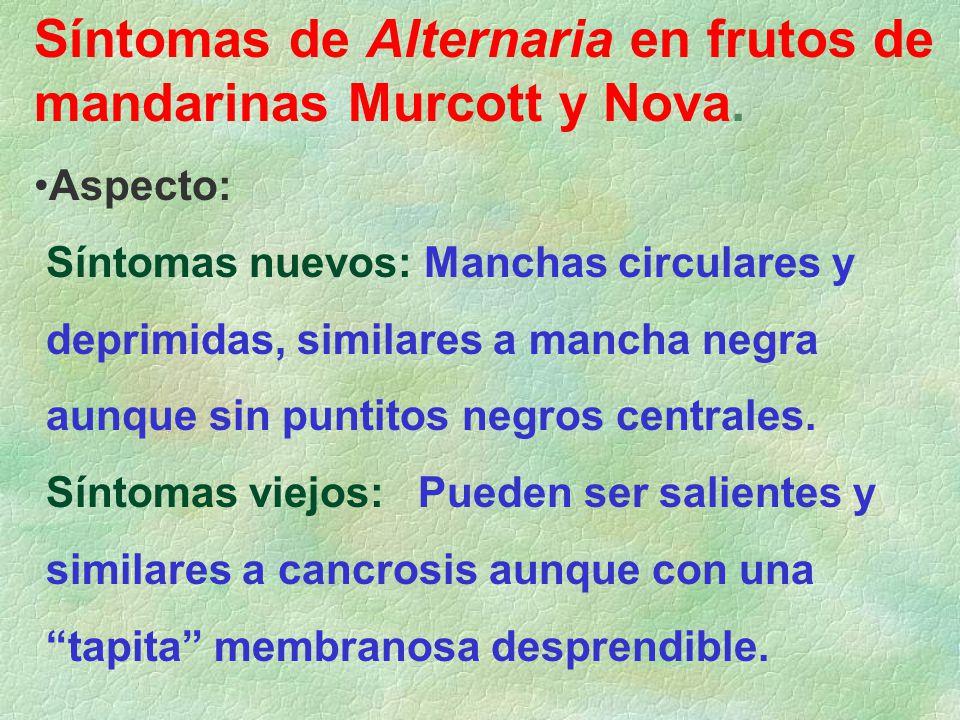 Síntomas de Alternaria en frutos de mandarinas Murcott y Nova. Aspecto: Síntomas nuevos: Manchas circulares y deprimidas, similares a mancha negra aun