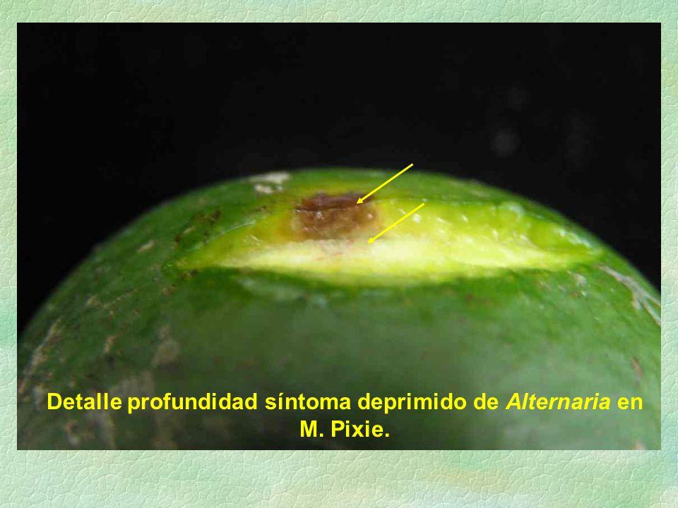 Detalle profundidad síntoma deprimido de Alternaria en M. Pixie.