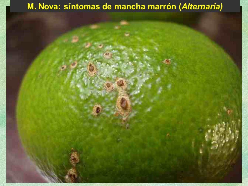 M. Nova: síntomas de mancha marrón (Alternaria)