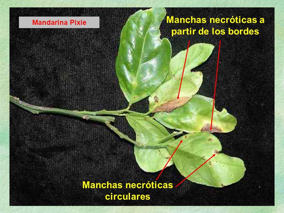 Manchas necróticas a partir de los bordes Manchas necróticas circulares Mandarina Pixie