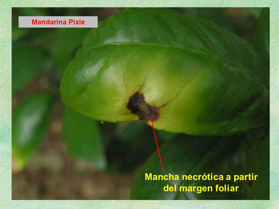 Mancha necrótica a partir del margen foliar Mandarina Pixie