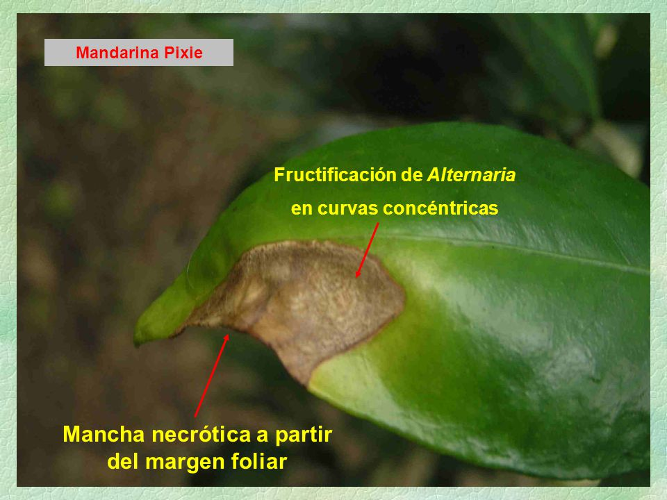 Mancha necrótica a partir del margen foliar Mandarina Pixie Fructificación de Alternaria en curvas concéntricas