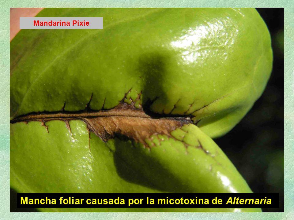 Mancha foliar causada por la micotoxina de Alternaria Mandarina Pixie