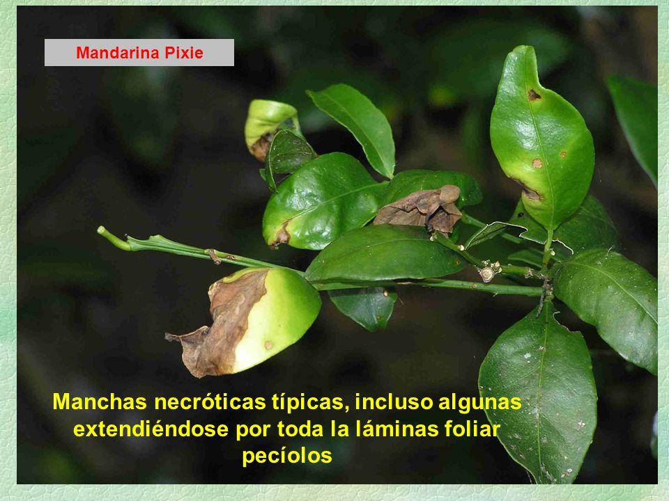 Manchas necróticas típicas, incluso algunas extendiéndose por toda la láminas foliar pecíolos Mandarina Pixie