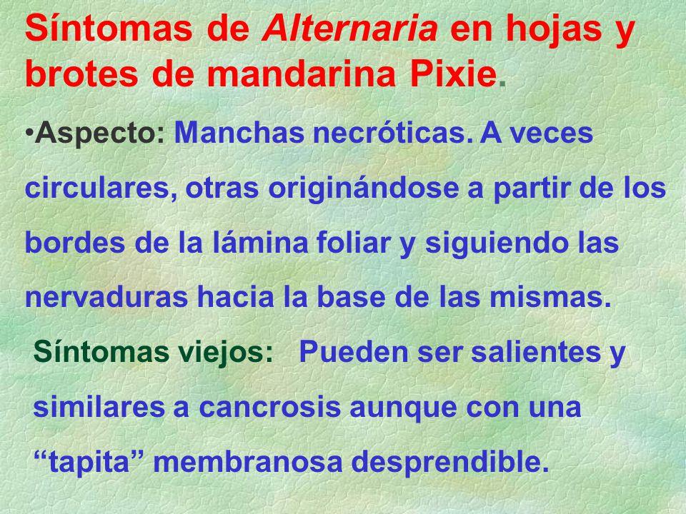 Síntomas de Alternaria en hojas y brotes de mandarina Pixie. Aspecto: Manchas necróticas. A veces circulares, otras originándose a partir de los borde
