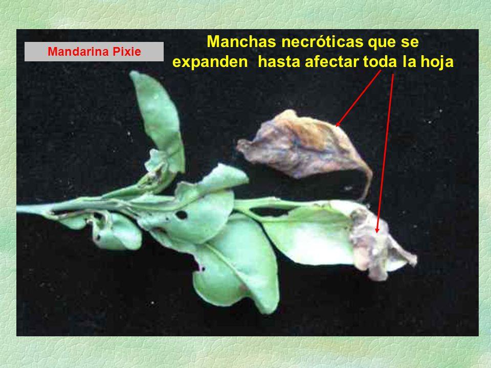 Manchas necróticas que se expanden hasta afectar toda la hoja Mandarina Pixie