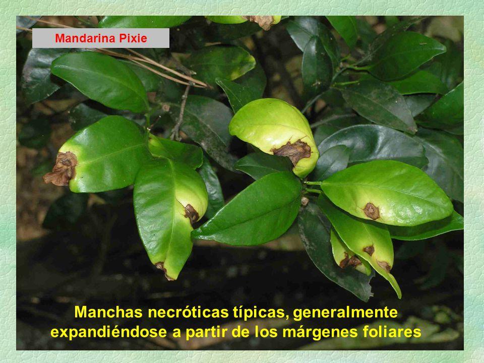 Manchas necróticas típicas, generalmente expandiéndose a partir de los márgenes foliares Mandarina Pixie