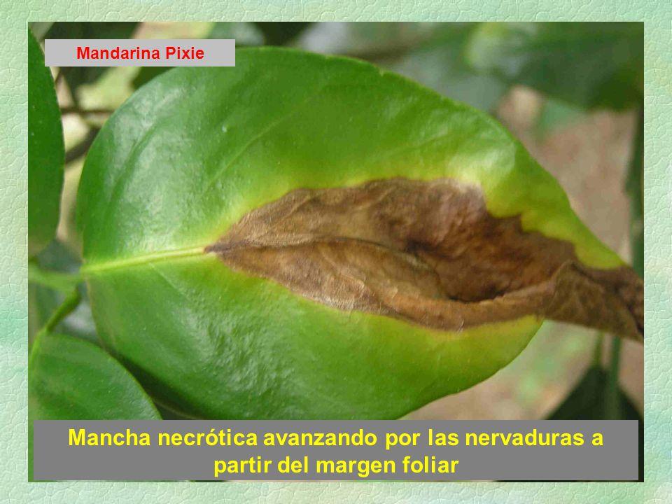 Mancha necrótica avanzando por las nervaduras a partir del margen foliar Mandarina Pixie