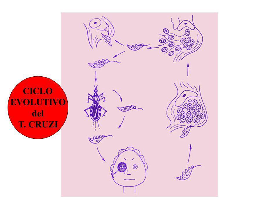 CICLO EVOLUTIVO del T. CRUZI