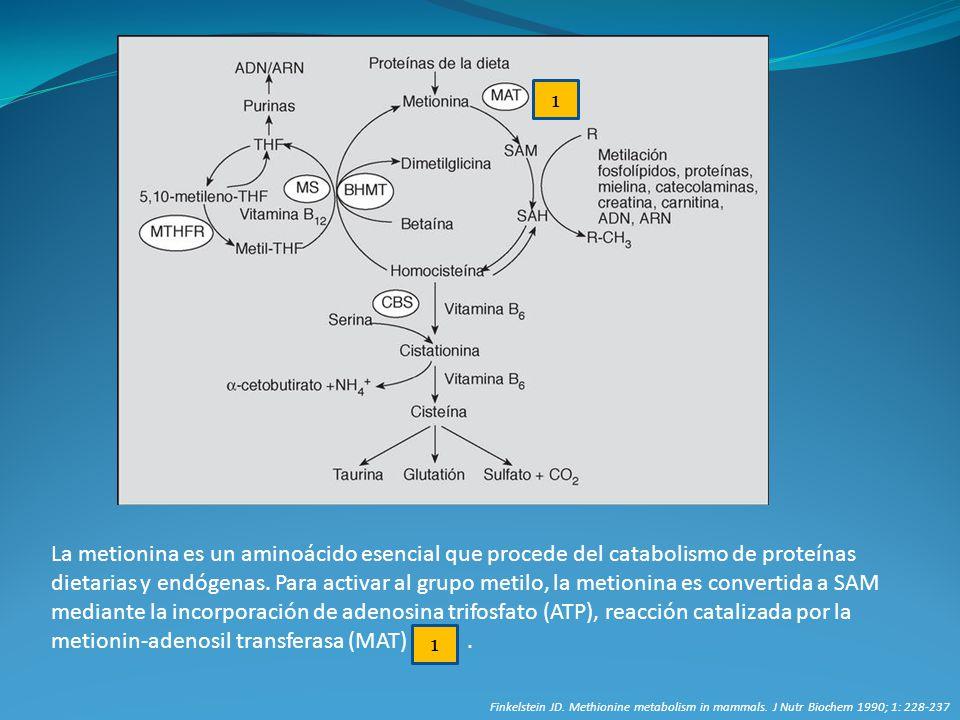 La metionina es un aminoácido esencial que procede del catabolismo de proteínas dietarias y endógenas. Para activar al grupo metilo, la metionina es c