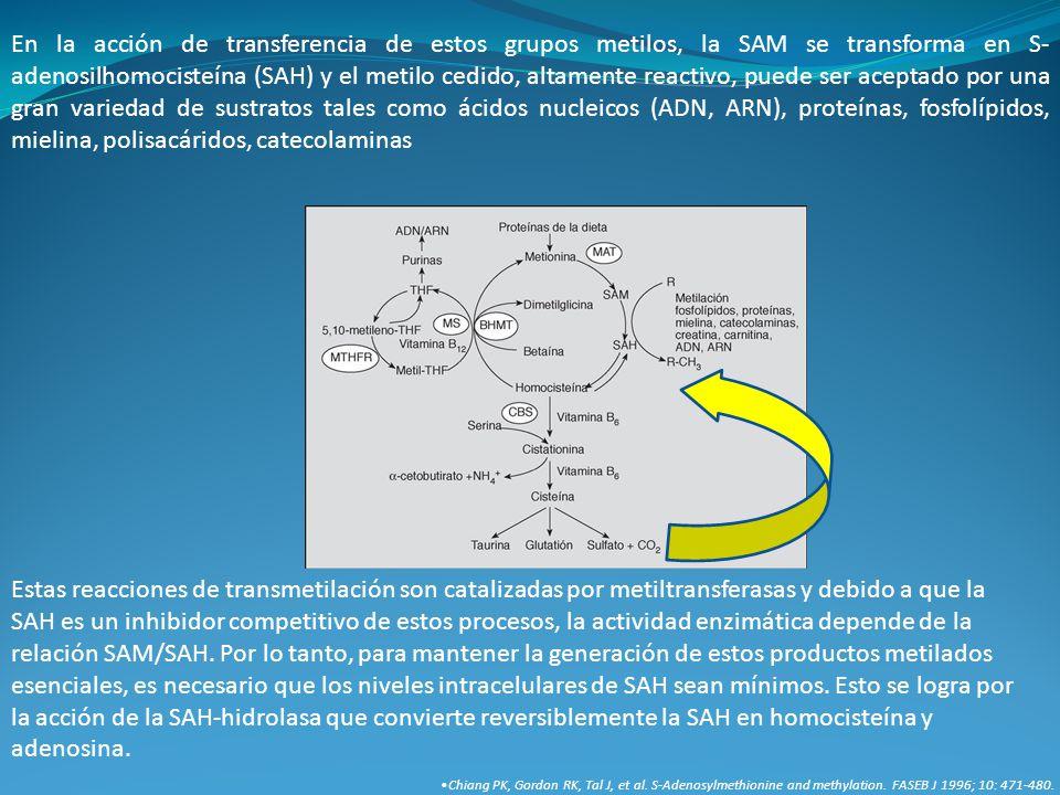 En la acción de transferencia de estos grupos metilos, la SAM se transforma en S- adenosilhomocisteína (SAH) y el metilo cedido, altamente reactivo, p