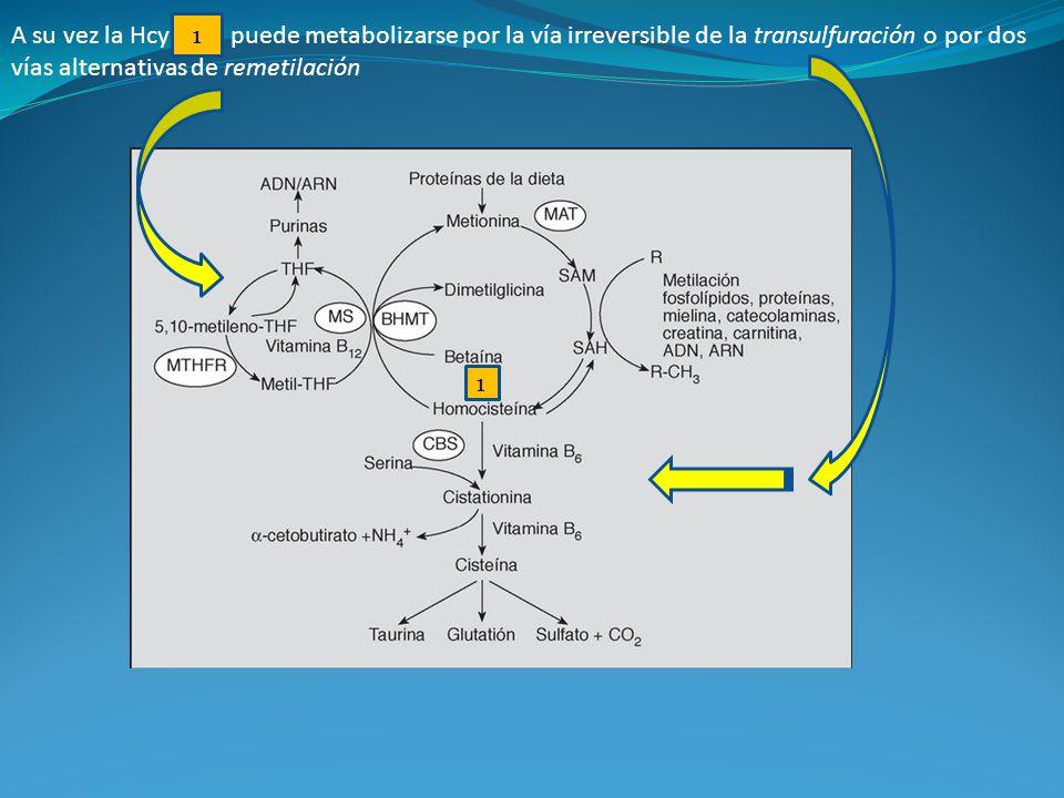 A su vez la Hcy puede metabolizarse por la vía irreversible de la transulfuración o por dos vías alternativas de remetilación 1 1