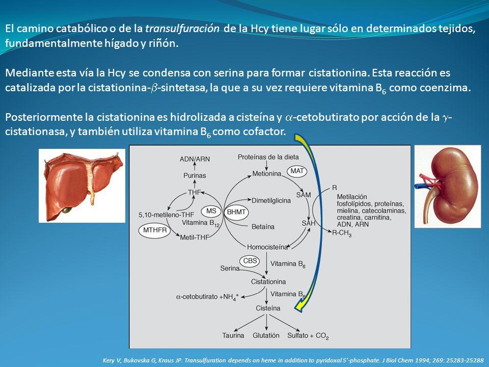 El camino catabólico o de la transulfuración de la Hcy tiene lugar sólo en determinados tejidos, fundamentalmente hígado y riñón. Mediante esta vía la