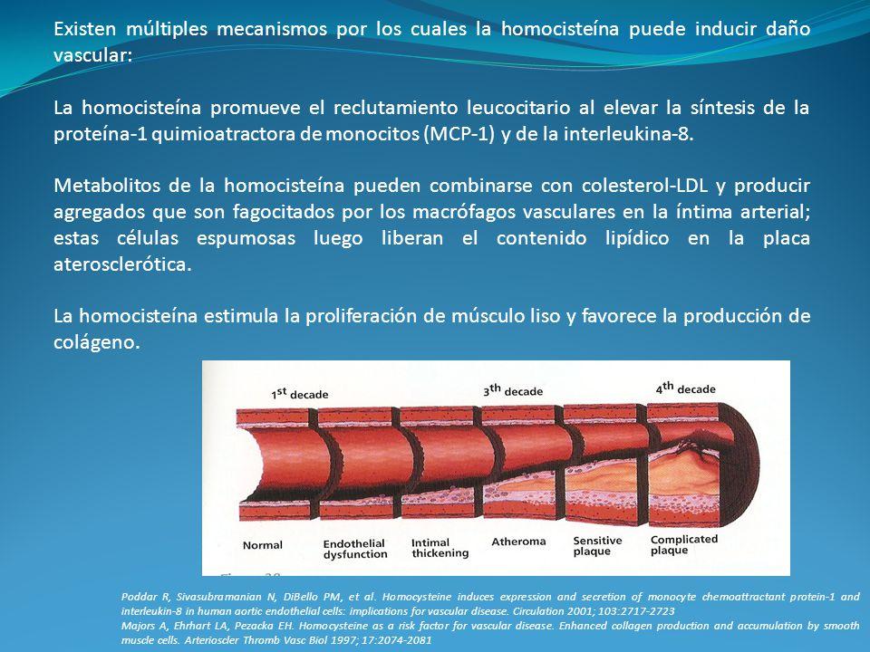 Existen múltiples mecanismos por los cuales la homocisteína puede inducir daño vascular: La homocisteína promueve el reclutamiento leucocitario al ele