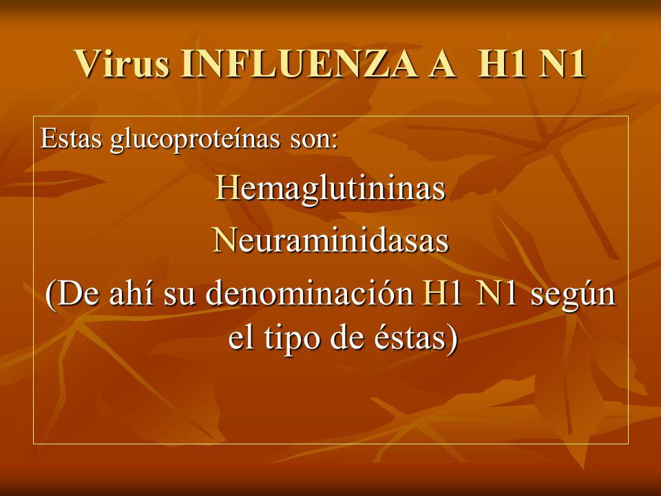 Virus INFLUENZA A H1 N1 Estas glucoproteínas son: Hemaglutininas Neuraminidasas (De ahí su denominación H1 N1 según el tipo de éstas)