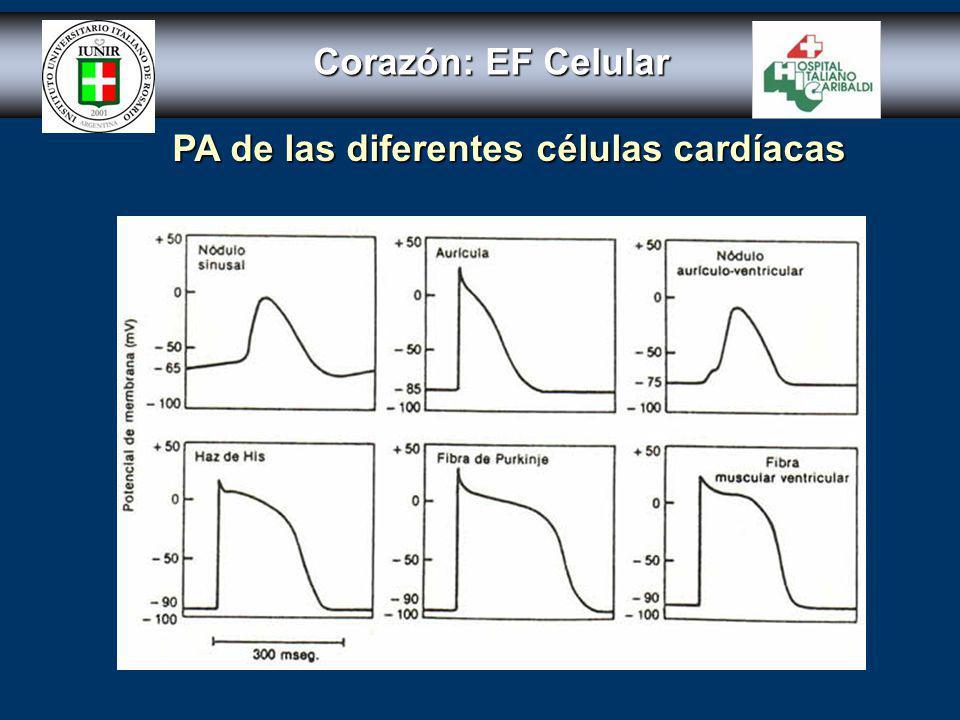 Corazón: EF celular