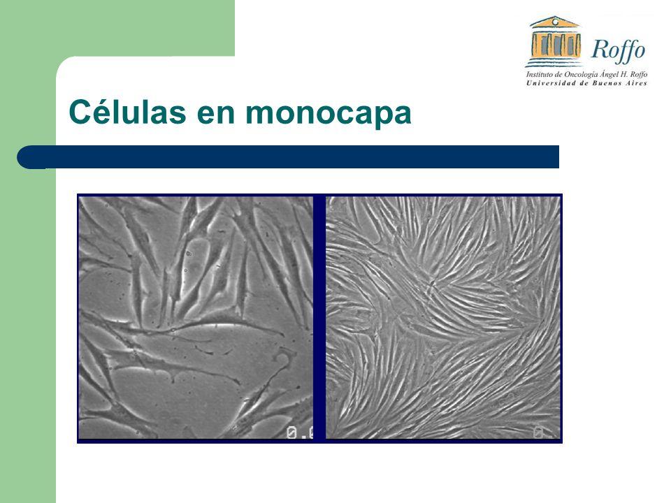 Células en monocapa
