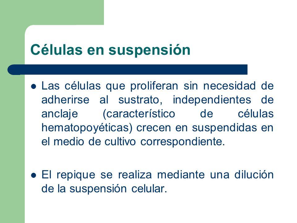 Células en suspensión Las células que proliferan sin necesidad de adherirse al sustrato, independientes de anclaje (característico de células hematopoyéticas) crecen en suspendidas en el medio de cultivo correspondiente.