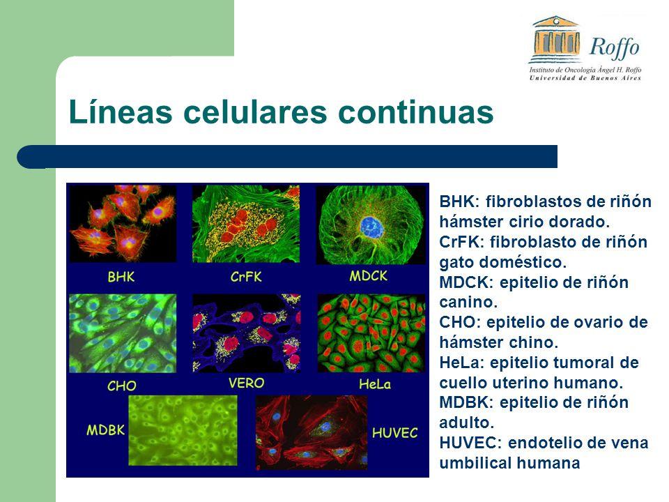 Líneas celulares continuas BHK: fibroblastos de riñón hámster cirio dorado. CrFK: fibroblasto de riñón gato doméstico. MDCK: epitelio de riñón canino.