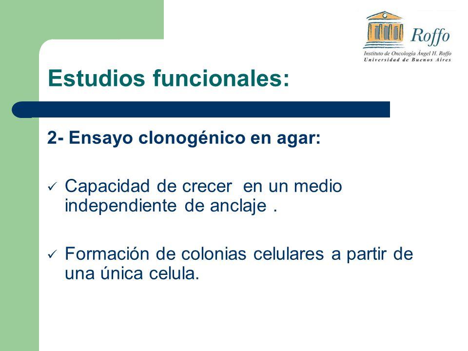 Estudios funcionales: 2- Ensayo clonogénico en agar: Capacidad de crecer en un medio independiente de anclaje. Formación de colonias celulares a parti