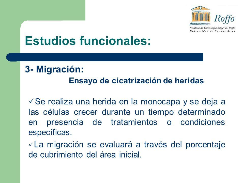 Estudios funcionales: 3- Migración: Ensayo de cicatrización de heridas Se realiza una herida en la monocapa y se deja a las células crecer durante un tiempo determinado en presencia de tratamientos o condiciones específicas.