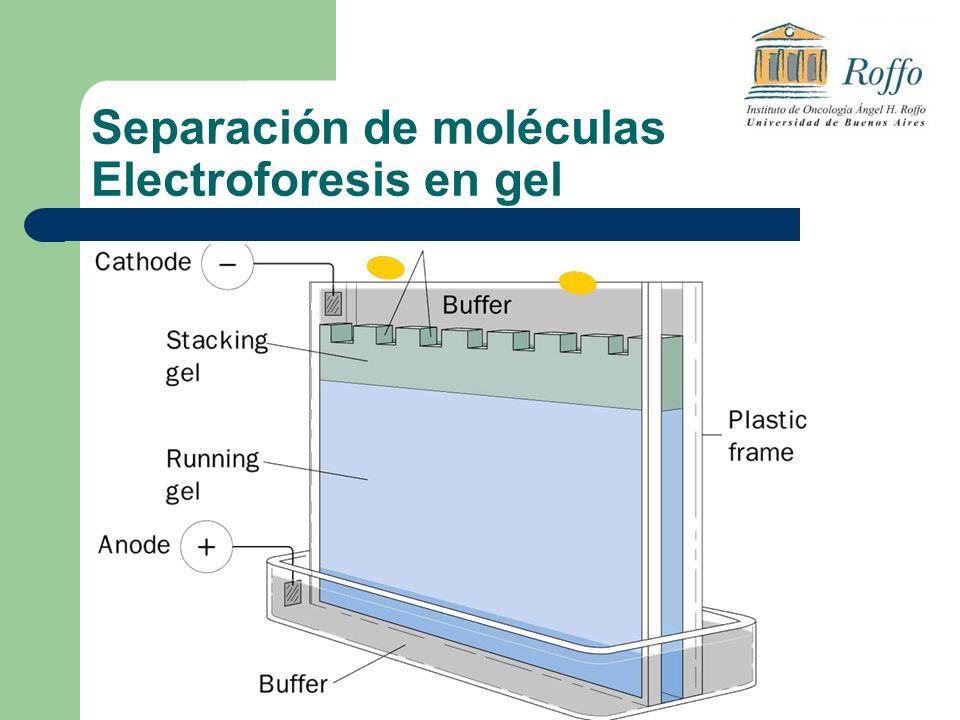 Separación de moléculas Electroforesis en gel