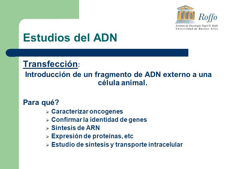 Estudios del ADN Transfección : Introducción de un fragmento de ADN externo a una célula animal. Para qué? Caracterizar oncogenes Confirmar la identid