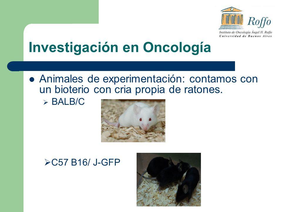 Investigación en Oncología Animales de experimentación: contamos con un bioterio con cria propia de ratones. BALB/C C57 B16/ J-GFP