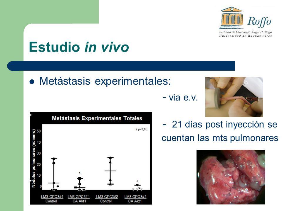 Estudio in vivo Metástasis experimentales: - via e.v. - 21 días post inyección se cuentan las mts pulmonares