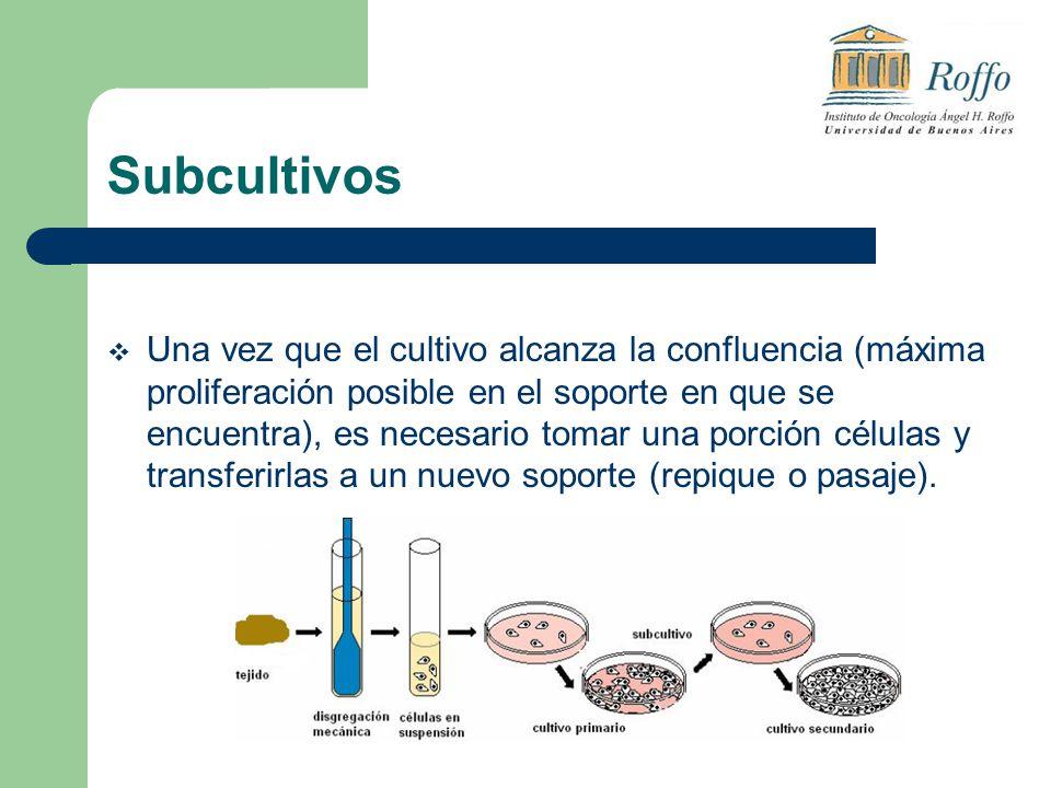Subcultivos Una vez que el cultivo alcanza la confluencia (máxima proliferación posible en el soporte en que se encuentra), es necesario tomar una porción células y transferirlas a un nuevo soporte (repique o pasaje).