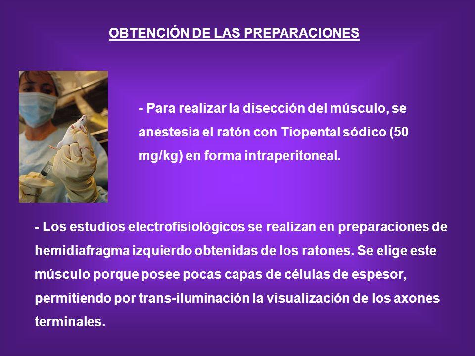 OBTENCIÓN DE LAS PREPARACIONES - Para realizar la disección del músculo, se anestesia el ratón con Tiopental sódico (50 mg/kg) en forma intraperitonea